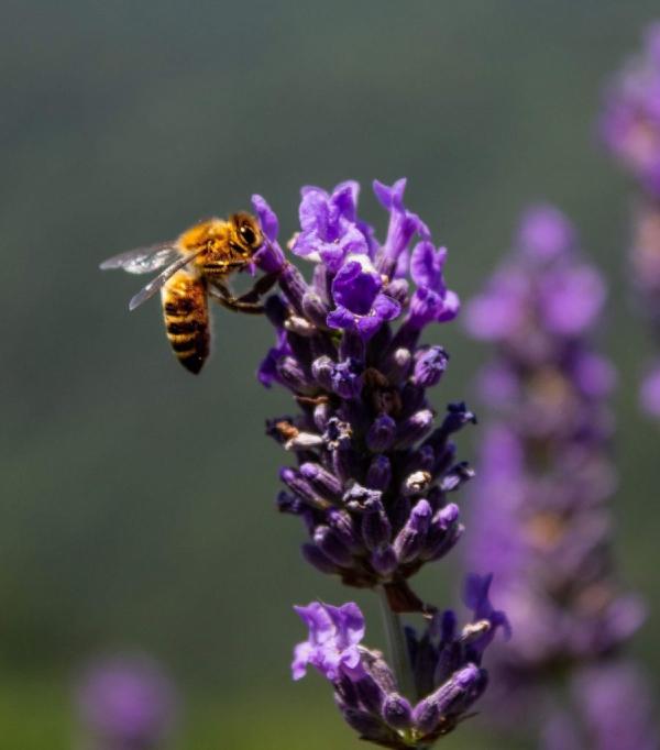 пчела върху цвете близък план